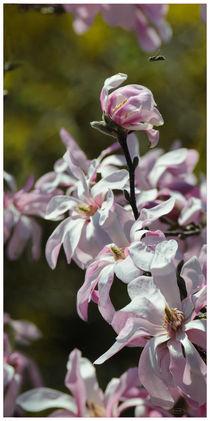 Star Magnolia by nameda