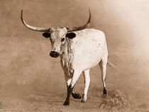 Texas Longhorn by Betty LaRue