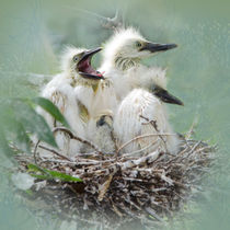 Cattle Egret Nestlings by Betty LaRue
