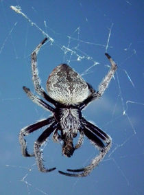 Garden Orb Weaving Spider by ian cuming