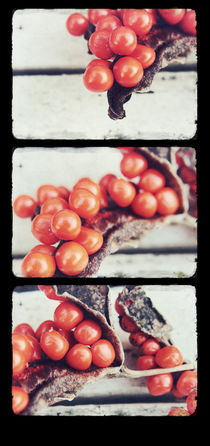 Seed Pods Triptych by Sybille Sterk