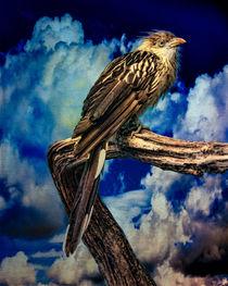 Brazilian Guira Cuckoo by Chris Lord
