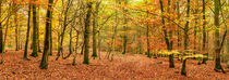 Beech Woodland in Autumn by Craig Joiner
