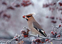 Frosty Waxwing with berry by Mati  Kose