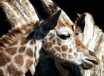 Baby Giraffe by Mary Lane