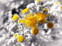 Dusty Miller by Mary Lane