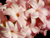 Pink Hyacinth by Mary Lane
