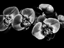 Silver Orchids by Mary Lane