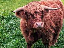 Highland Cow von Jacqi Elmslie