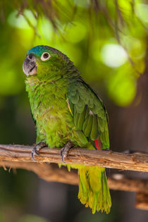 blue naped parrot by Craig Lapsley