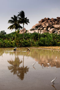 Rice Paddie In Hampi, India. by Tom Hanslien