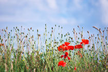 Mohnblumen by AD DESIGN Photo + PhotoArt