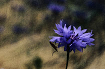 Cornflower  by Barbara  Keichel