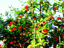Apple-tree