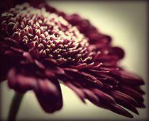 Just Nature (Gerbera Red) by rosanna zavanaiu