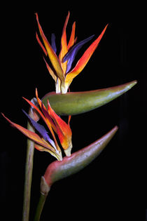 BIRD OF PARADISE FLOWER by Gillian Sweeney