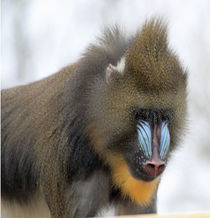 Mandrill portrait by Martyn Bennett