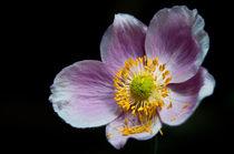 Herbst-Anemone (Anemone hupehensis) by Thomas Lambart