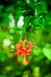 Hibiskusblüte von Gina Koch