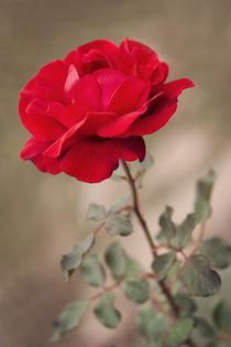 Red rose by Diana Kraleva