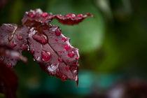 Rosenblatt mit Regentropfen by Denise Urban