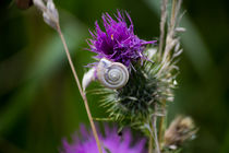 Distel mit Schnecke by Denise Urban