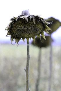 Sonnenblume von Jens Berger