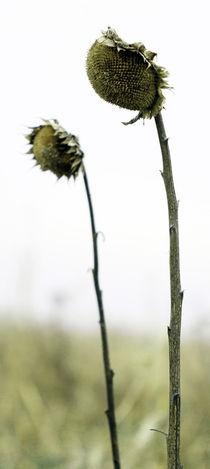 sunflower von Jens Berger