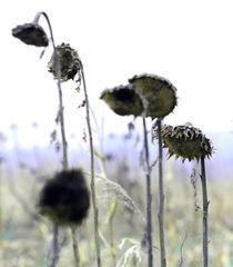 Sonnenblumen von Jens Berger