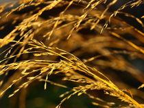 Goldene-aehre-pc291162