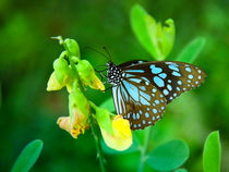 Blauer Schmetterling von Gina Koch