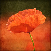 Poppy-in-a-sea-of-red