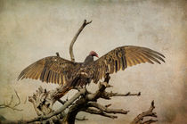 Bibp-1476-edit-turkey-vulture-cathartes-aura