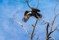 Eagle taking Flight by Barbara Magnuson & Larry Kimball