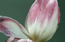tulip von Jens Berger