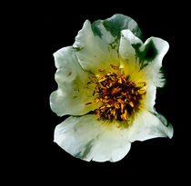 Scots Rose by rwdownesphotography