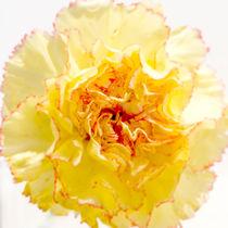 Delicate Yellow II by rwdownesphotography