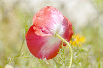 Pretty-red-poppy