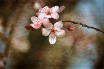 Cherry Blossom by Patricia N