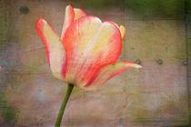Peachy Tulip by Patricia N