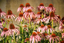 Pink Echinacea Flowers by Patricia N