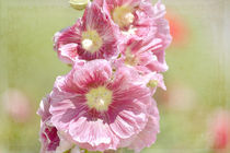 Hollyhock-flowers