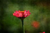 Zinnia Flower by Patricia N