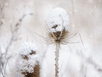 'winter beauty' by Franziska Rullert