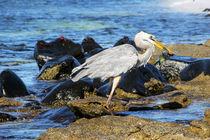 Great blue heron, fishing by Stefan Hafner