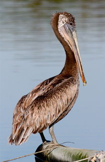 Brown Pelican by Paul Marto