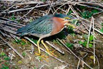 Green Heron von Paul Marto