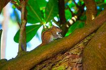 Streifenhörnchen knabbert Reis von Gina Koch