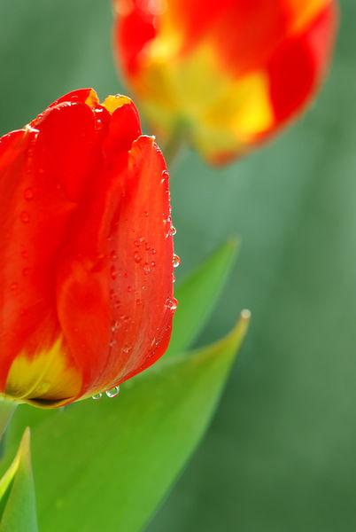 Tulpen00