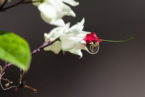 white flower with red bud by Craig Lapsley